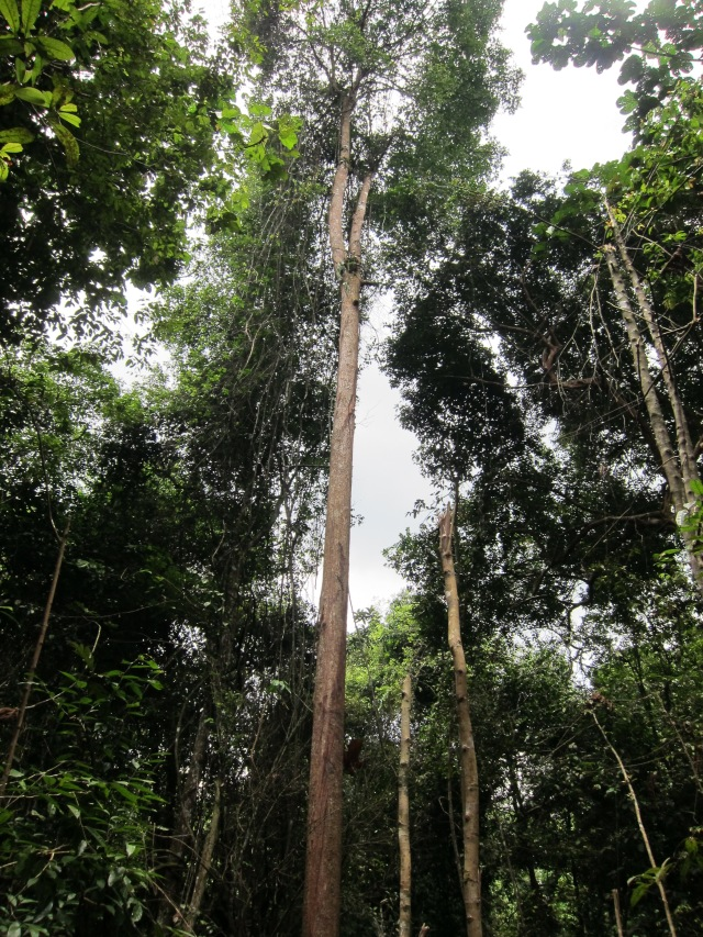 Trees of the Rainforest